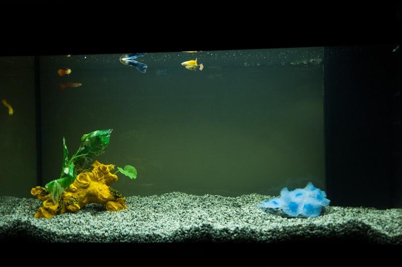 グッピーの稚魚の体に色が出る時期について